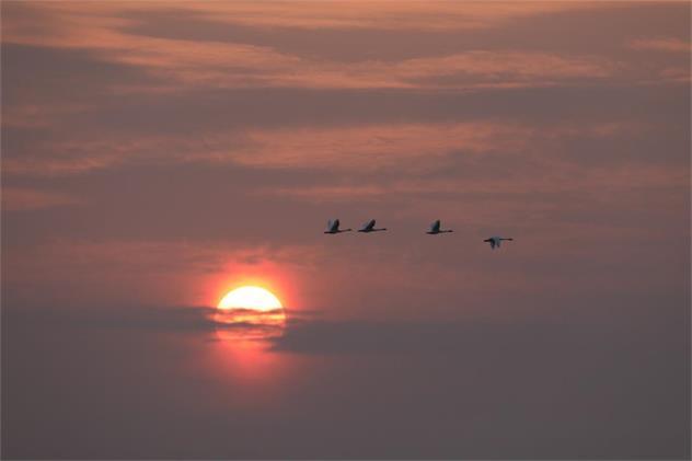 泌阳县铜山湖湿地吸引小天鹅停歇