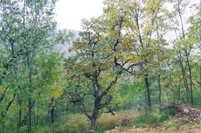"""汝州市林业局发现一株二级保护古树""""榅桲"""""""